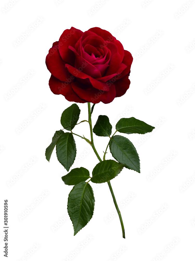 Fototapeta Dark red rose with green leaves