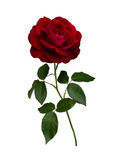Ciemnoczerwona róża z zielonymi liśćmi