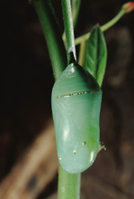 Monarch Butterfly Chrysalis (D...
