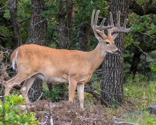 White tailed Deer Buck in velvet Canvas Print