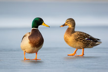 Pair Of Mallards, Anas Platyrhynchos, Standing On Ice In Winter Close Together In Cold Weather. Concept Of Animal Love And Togetherness. Two Wild Ducks On Glacier. Group Of Wild Bird In Nature.