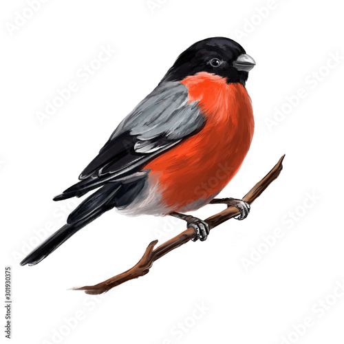 Canvastavla bird bullfinch on a branch, art illustration painted with watercolors isolated o