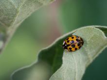 Asian Ladybeetle (harmonia Axyridis) Sitting On Leaf