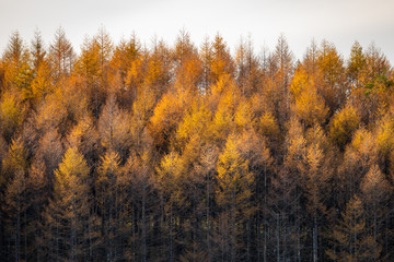 Fototapeta Jesień Autumnal larch bathed in the sunset