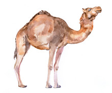 Watercolor Realistic Camel Des...