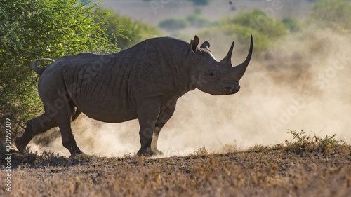 Foto op Canvas Neushoorn critically endangered Black Rhinoceros, Diceros bicornis, also called hook-lipped rhinoceros.