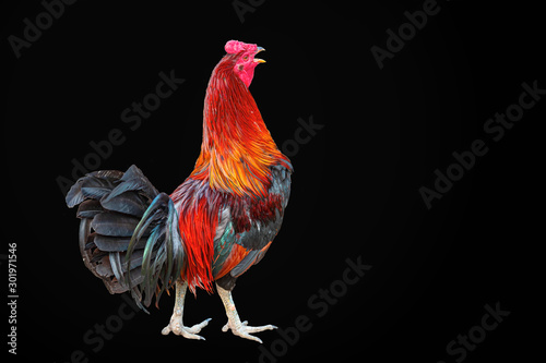 Dominant Rooster (Cock) Right Side On Black Background Canvas Print