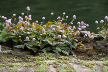 Pink Ground Cover Plant, Monti...