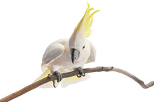 Sulphur-crested Cockatoo,  Cac...
