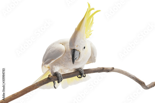 Leinwand Poster  Sulphur-crested Cockatoo,  Cacatua galerita perched in front of a white background