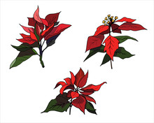 Set Of Red Poinsettia Flowers On A White Background. Realistic Hand-drawn Vector Illustration For Greetings, Invitations, And Design.