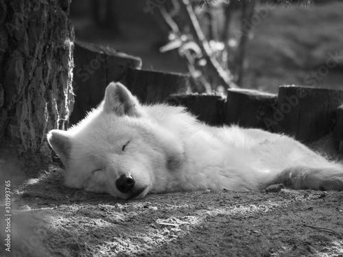 Autocollant pour porte Loup Loup blanc allongé qui dort. Canis Lupus