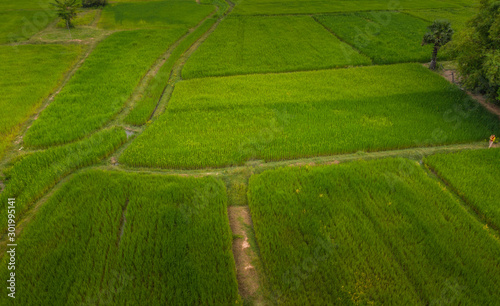 Spoed Fotobehang Groene A ricefield in the Kampot in the south of Cambodia in Cambodia