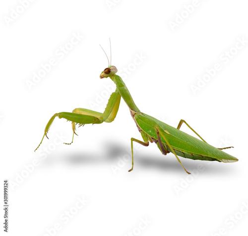 Obraz na plátně  large green mantis on a white background looks at the camera