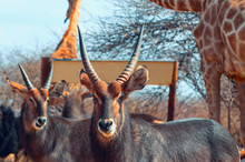 Two Waterbuck Males Close Up I...