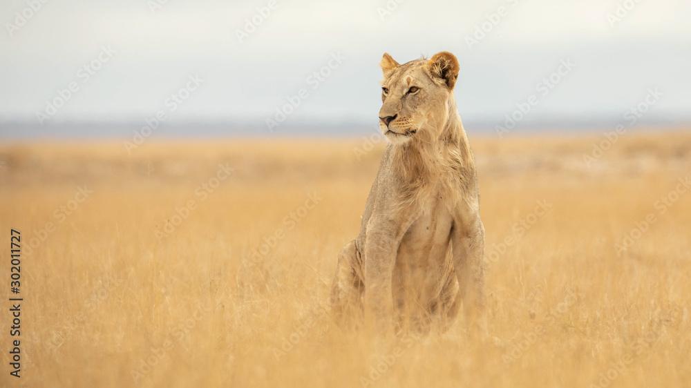 Fototapeta lion in african national park