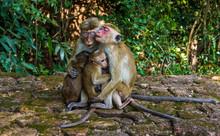 Monkey Mothers Breast-feeding In Sigiriya, Sri Lanka