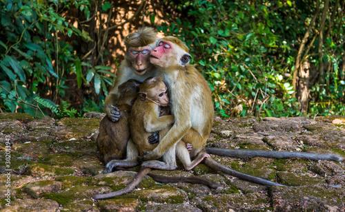 Monkey Mothers Breast-feeding in Sigiriya, Sri Lanka Tapéta, Fotótapéta