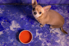 Hungry Little Short-haired Beige Chihuahua Dog Eats Food From Orange Bowl With Dog Food, On Blue Floor Background At Home And Kitchen