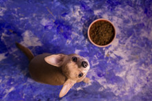 Hungry Hungry Little Short-haired Beige Chihuahua Dog Eats Food From Orange Bowl With Dog Food, On Blue Floor Background At Home And Kitchendog