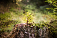 Fir Tree Sprout. New Life Conc...