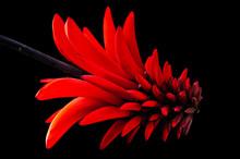 Coral Flower (Erythrina) A Bri...
