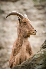 Barbary Sheep Portrait On Rock