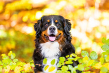Bernese Mountain Dog In Autumn