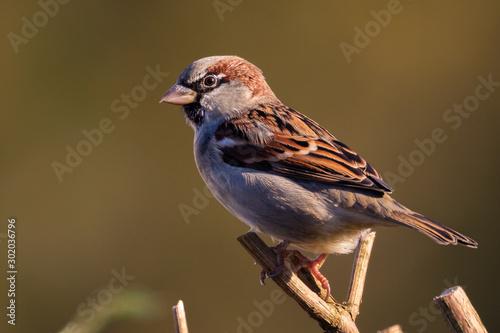 Fotografía Portrait of House sparrow (passer domesticus) perched in germany mecklenburg vor