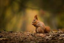 Cute Red Squirrel In The Natur...