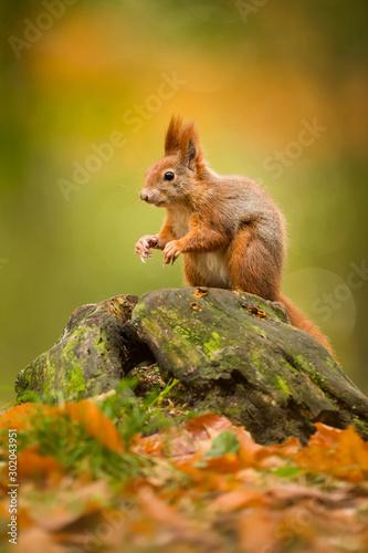 Fotografía Cute Red squirrel in the natural evironment, wildlife, close up, silhouete, Sciu