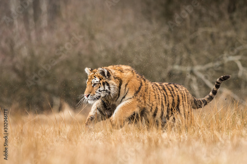 Photo sur Toile Tigre Siberian tiger in the natural environment, close up, silhouette, Panthera tigris altaica