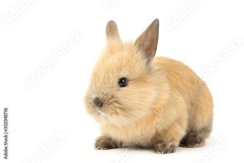 Fototapeta Bunny rabbit isolated on white background obraz na płótnie