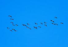Flock Of Grey Birds Geese Flyi...