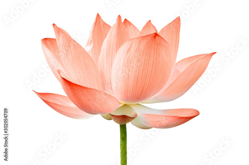 Autocollant pour porte Nénuphars Lotus flower isolated on white background. File contains with clipping path so easy to work.