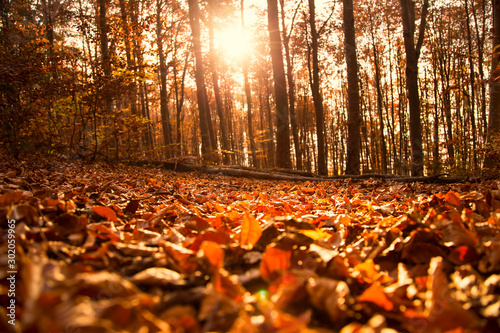 Fototapeta Autumn forest landscape with dried leaves and beech trees, fall nature landscape obraz na płótnie