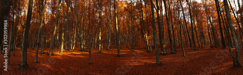 Foto auf Leinwand Braun Autumn panorama of forest landscape with dried leaves and beech trees, fall nature landscape