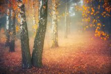 Misty Morning In Autumn Birch ...