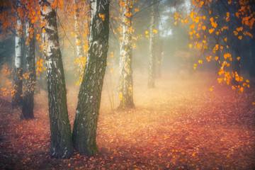 FototapetaMisty morning in autumn birch forest