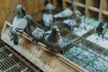 Pigeon Birds Standing Together With Friends.Pigeons Sitting.Isolated Pigeons.Portrait Of Birds