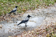 Two Crows In A Puddle Among Gr...