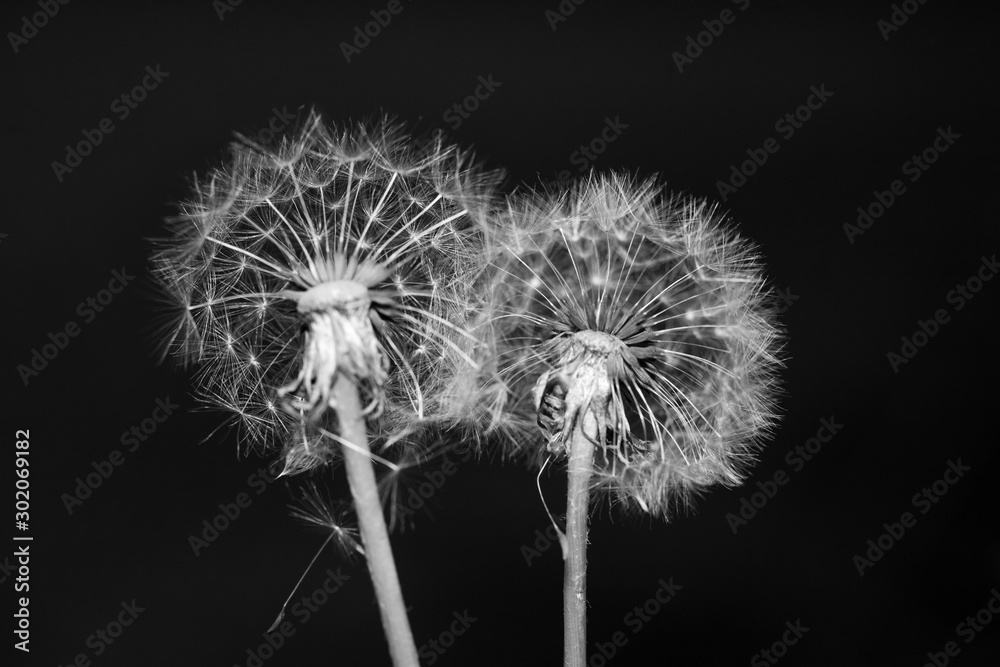 dandelions close up black and white