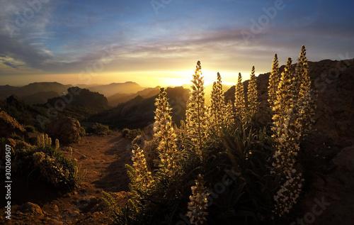 Fotografia  Wildflowers in the evening in Gran canaria