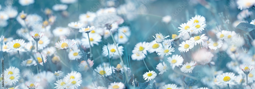 Fototapeta Selective and soft focus on daisy flower, beautiful nature in spring