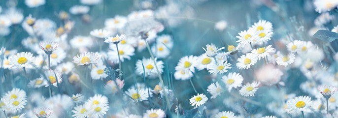 Selective and soft focus on daisy flower, beautiful nature in spring
