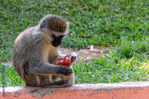 Vervet monkey (Chlorocebus pygerythrus) eating a discarded sweet lollipop Tapéta, Fotótapéta