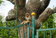 A Small Brown Monkey With A Su...