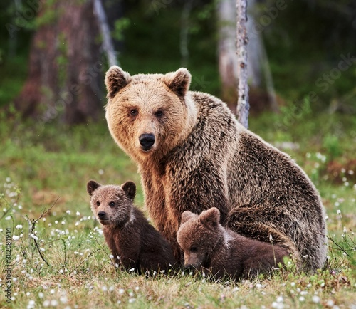 Young mother brown bear and her two cubs Wall mural