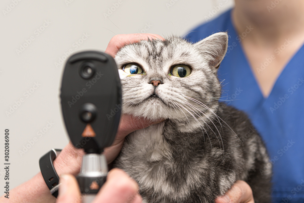 Fototapety, obrazy: The cat is examined by the veterinarian. Vet lights up with the slit lamp in the eye of the pet.