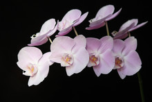 Pink Orchid Black Background